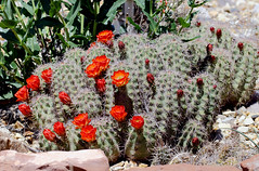Cactus Blooms; Belen, NM, Whitfield WMA [Lou Feltz] (deserttoad) Tags: nature preserve newmexico outdoors wildflower cactus red desert refuge