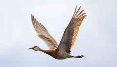 _U7A5053 (rpealit) Tags: scenery wildlife nature wallkill river national refuge sandhill crane bird flying