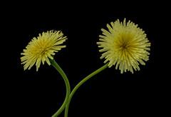 Wild flowers (Patty - ♥) Tags: fiori giallo sfondonero
