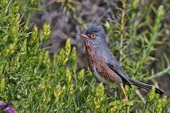 Dartford Warbler - Toutinegra-do-mato (anpena) Tags: birds passerines warblers birdphotography dartfordwarbler