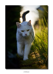DSC07282 (J.Wolfmaier) Tags: sonyalpha animal cat cats