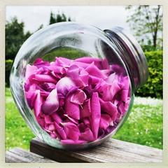Enfin découvert le pot aux roses... (NUMERIK33) Tags: 354 hipstamatic rose pink garden jardin pot roses fleurs flowers explore numerik33