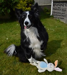 Now Your Just Somebunny That I Used To Know (ASHA THE BORDER COLLiE) Tags: funny easter dog bunny picture ashathestarofcountydown connie kells county down photography