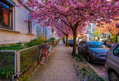 Kirschblüte (carsten.plagge) Tags: 12mm 2019 a6300 april braunschweig cp55 carstenplagge kirschblüte samyang sony niedersachsen deutschland