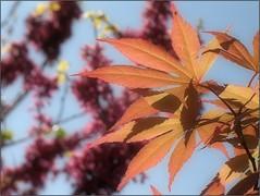 (Tölgyesi Kata) Tags: tuzsonjánosbotanikuskert botanikuskert botanicalgarden withcanonpowershota620 spring acer juhar leaf foliage tavasz nyíregyháza maple