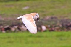 Barn Owl with prey (Terry Angus) Tags: owl barnowl kestrel bird predator birdofprey