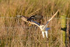 Kestrel & Barn Owl (Terry Angus) Tags: owl barnowl kestrel bird predator birdofprey