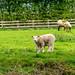 Sheepy Onlookers