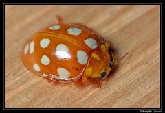Calvia quatuordecimguttata (cquintin) Tags: arthropoda coleoptera coccinellidae calvia quatuordecimguttata coccinelle ladybird ladybug macroinsectes