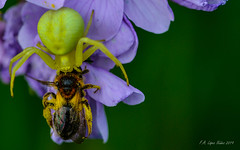 Everything is linked (lnfran85) Tags: predation thomisidae