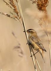 Sedge Warbler (gideonc - Thank you for the 1,000,000+ views) Tags: ukwildlife ukbirds northessex sedgewarbler britishbirds reedbed nikond7100 sigma150600c