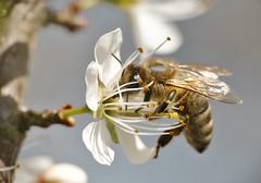 Biene an Schlehenblüte (GerWi) Tags: biene bee schlehenblüte schlehen makro samen blütensamen pflanzen licht fz1000 sony a7 sonya7 himmel sky blätter zweige weiss braun flügel äste macro frühling frühjahr