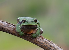 Iberian Tree Frog ♂ (Hyla molleri), Vale de Afonsinho, NE Portugal (Frank.Vassen) Tags: portugal hylamolleri hyla laubfrosch treefrog iberiantreefrog fieldfocusstacking