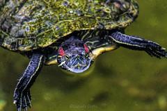 Osserva la tartaruga / Watch the turtle (Eugenio GV Costa) Tags: approvato tartarughe turtles animal animali
