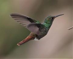 Rufous-tailed Hummingbird (Amazilia tzacatl) 03-10-2019 Medio Queso wetland, Alajuela Province, CR 2 (Birder20714) Tags: birds costa rica hummingbirds trochildae amazilia tzacatl