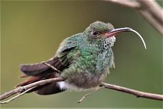 Rufous-tailed Hummingbird (Amazilia tzacatl) 03-10-2019 Medio Queso wetland, Alajuela Province, CR 8 (Birder20714) Tags: birds costa rica hummingbirds trochildae amazilia tzacatl