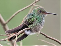Rufous-tailed Hummingbird (Amazilia tzacatl) 03-10-2019 Medio Queso wetland, Alajuela Province, CR 11 (Birder20714) Tags: birds costa rica hummingbirds trochildae amazilia tzacatl