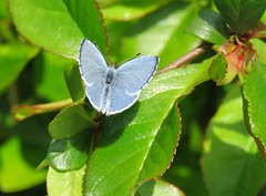 Holly Blue (marksargeant57) Tags: canonpowershotsx60hs leaf leaves shrub insect butterfly hollyblue lepidoptera