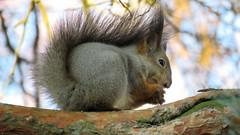 IMG_3950_Orava (heiskanen4) Tags: squirrel