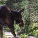 22752-moose!