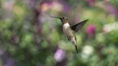 The Color Garden_DSC3213-1 (DansPhotoArt) Tags: composite rubythroated hummingbird bird nature wildlife back yard home inflight bif archilocuscolubris apodiformes colorful flowers bokeh male gorget red green