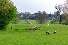 20190418 0088 Lambs Field Walk Kibworth Harcourt Leicestershire (rodtuk) Tags: 4star agricultural england flipublic flickr food kibworth kibworthharcourt leicestershire mammal midlands misc nature phototype places rating uk wip