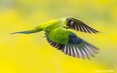 Parakeet flyby (Photosuze) Tags: nandayparakeet parakeets birds avians aves animals nature wildlife blackhoodedparakeets