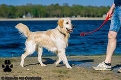 _KJM5617_20190422_180054 (KJvO) Tags: dex dog goldenretriever hilgelo hond water animal dier