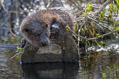 River Otter (cliveyjones) Tags: otter river wildlife nature
