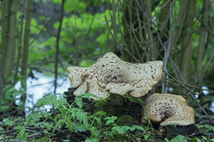 Polyporus sqamosus (zadelzwam) - Aardenburg - The Netherlands (wietsej) Tags: polyporus sqamosus zadelzwam aardenburg the netherlands sony sel100f28gm stf 100mm paddenstoel fungus mushroom