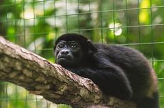 Howler Monkey (proyectoasis) Tags: