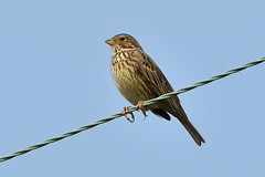 Bird On A Wire. (stonefaction) Tags: corn bunting crail fife scotland birds nature wildlife