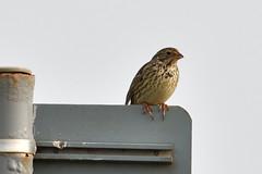 Corn Bunting. (stonefaction) Tags: corn bunting crail fife scotland birds nature wildlife