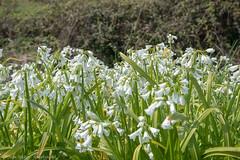 White flowers- DSC_0603 (John Hickey - fotosbyjohnh) Tags: 2019 april2019 kilcoole nikond750 nikon nature naturalbeauty springflowers flowers whiteflowers