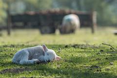 Sweet Baby (jayneboo) Tags: sheep lambs field home spring farming