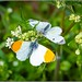 Orange-tip butterfly  (Anthocharis cardamines) Male & female