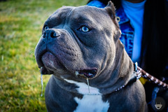 DSC_0299 (Luz_Luque) Tags: dogs abkc animal amby bully photography