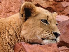 Meditating (geraldineh.dutilly) Tags: lion africa southafrica cub cute lioncub wild wildlife free