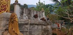 Muang Ngoi Neua, Nam Ou River, Northern Laos (Julian Myles Fidler) Tags: muang ngoi neua nong laos carsks nam ou northern luang prabang province remote village mountain playing football kayak water river buffalo morning mist boats sunset kiaw