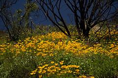 Golden Garden (wanderingnome) Tags: eschscholziacalifornica californiapoppies venturacounty california highway33 march 2019 yellow flowers wildflowers wanderingnomez ojai unitedstatesofamerica