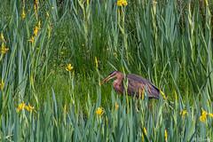 DSC_0180 (daniellavandier) Tags: héron pourpré marais bruges etang oiseaux nature gironde nikon d500