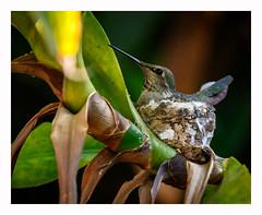 Happy Earth Day 2019 (www.halkaphoto.com) Tags: usa westcoast thewest california sandiego pacificbeach crownpoint hummingbird nest avian bird trochilidae