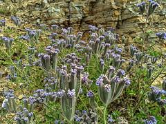 IMG_20190422_102025e (joeginder) Tags: jrglongbeach oceantrails pacific california beach rocky cliffs wildflowers hiking