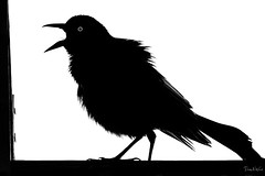 In The Rafters (PNWheat) Tags: rafters silhouette calling everglades blackbird