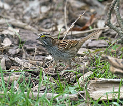 Female white throated sparrow (carpingdiem) Tags: whitethroatedsparrow birds indianapolis spring 2019