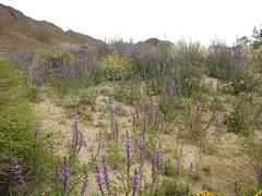 lupine (h willome) Tags: 2019 california desert wildflowers joshuatree joshuatreenationalpark