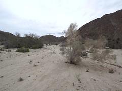 dry wash with smoke tree (h willome) Tags: 2019 california desert wildflowers joshuatree joshuatreenationalpark