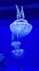 """23 (""""Big Daddy"""" Nelson) Tags: leahi hawaii waikiki aquarium fish lego event afol"""