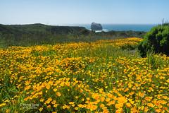 Big Sur Wildflowers (Henry Yang Photography) Tags: bigsur wildflowers superbloom poppy