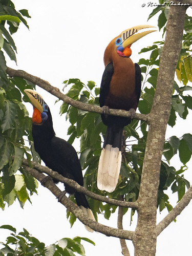 """Rufous-necked Hornbill (Lifer) • <a style=""""font-size:0.8em;"""" href=""""http://www.flickr.com/photos/59465790@N04/47672976632/"""" target=""""_blank"""">View on Flickr</a>"""